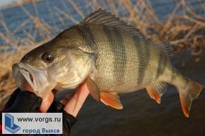 Выксунский рыболов словил самого крупного окуня