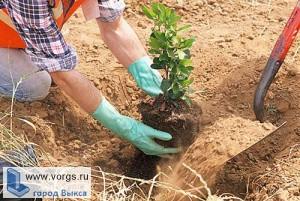 В Выксе будет проводится общегородская акция «Посади дерево»